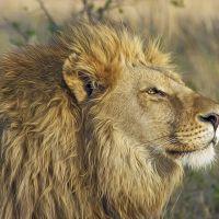 Międzynarodowy Dzień Lwa w gdańskim ZOO